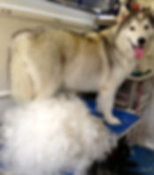 Siberian Husky de-moult / de-shed