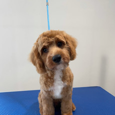 Red Cavoodle, First Groom