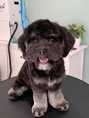 Lowchen Puppy Grooming