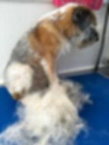 Border Terrier Hand strip