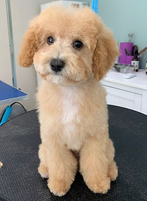 Cavoodle Puppy Grooming