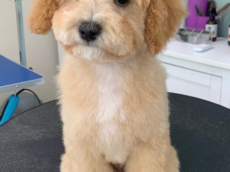 When Should I Get My Puppy Groomed?