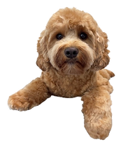 Cavoodle Grooming