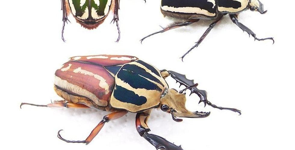 Mecynorhina torquata ugandensis