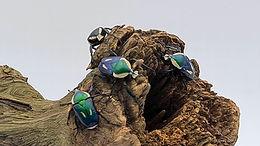 Dicronorhina derbyana oberthuri ♡ vittata bluish