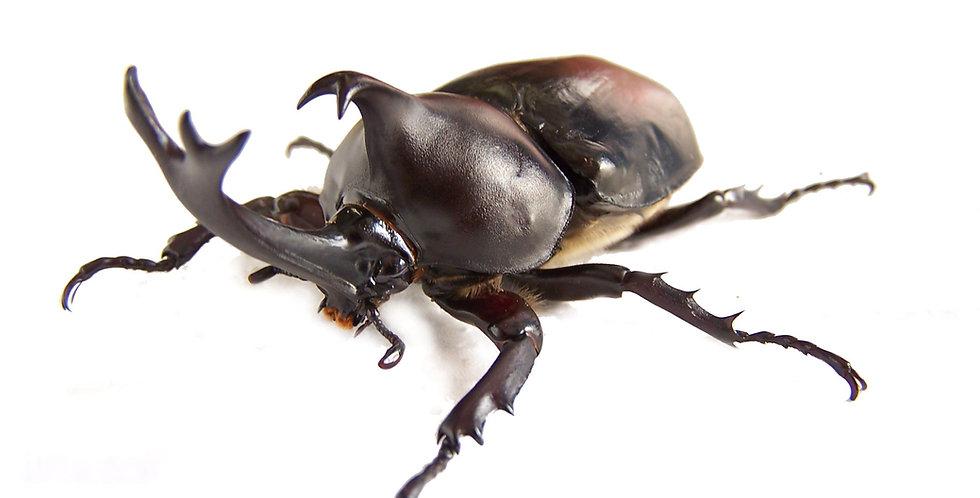 Trypoxylus dichotoma politus