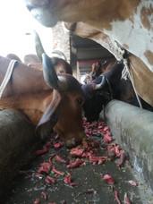 Cows enjoying carrots