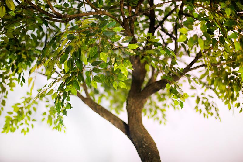 Аренда дерева Фикус