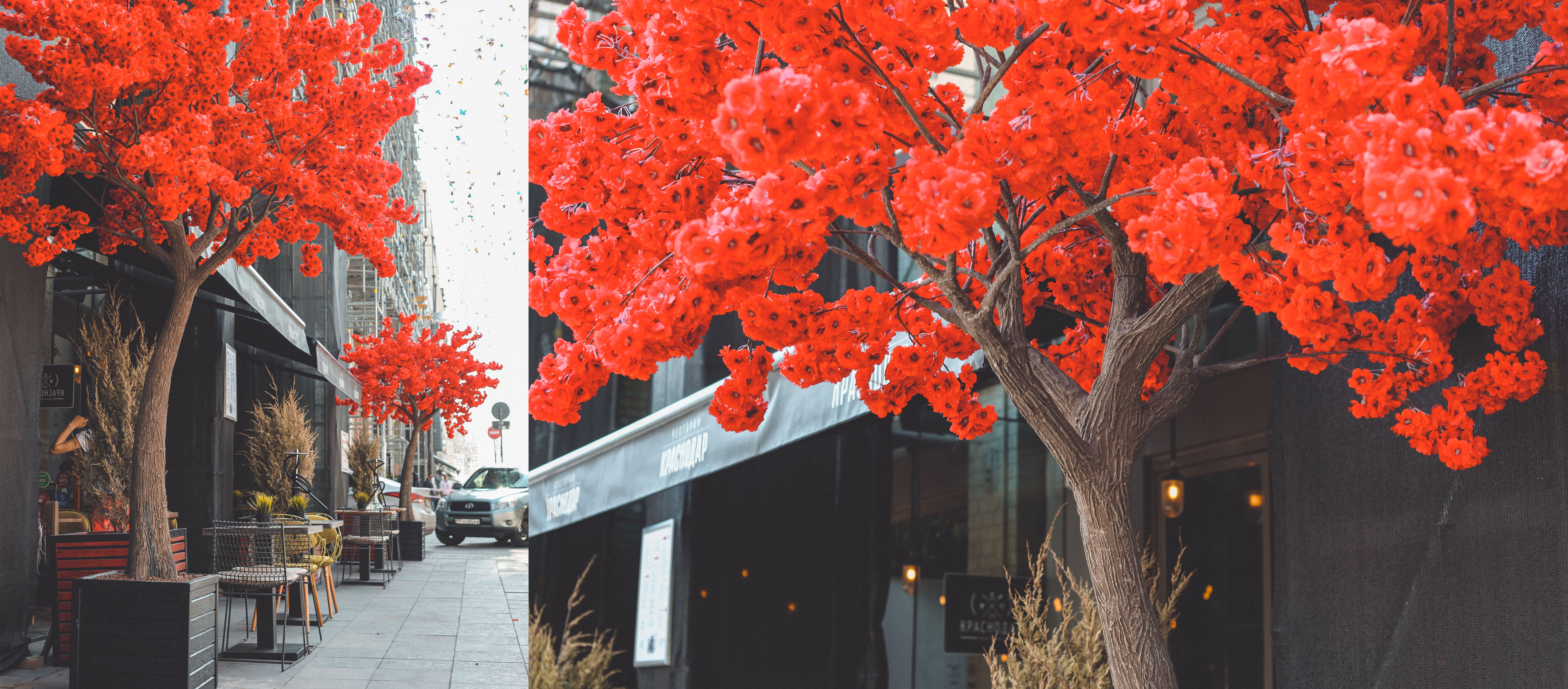 Аренда Дерева Сакура Красная.