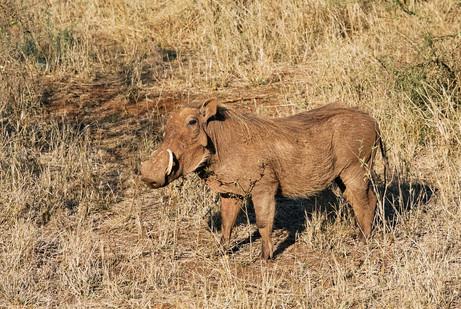 Father warthog