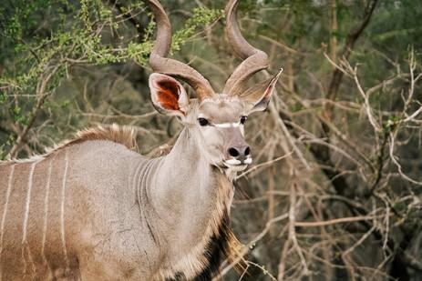 Kudu observing