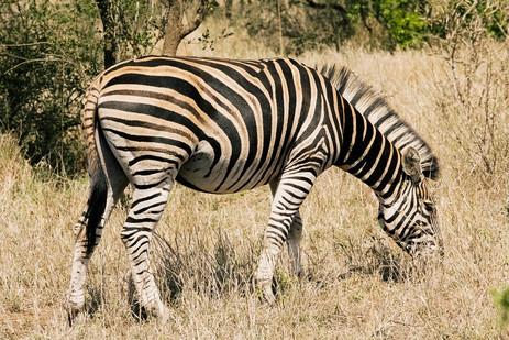Zebra in the brush