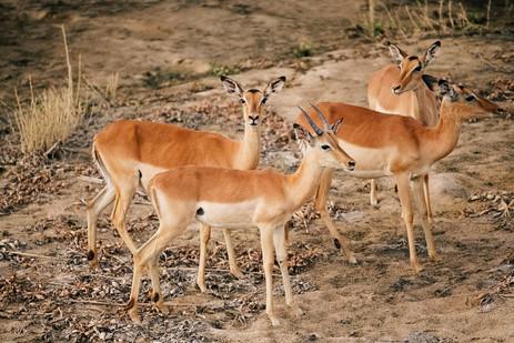 A little herd of impala