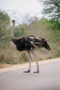Ostrich on the road