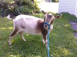 First Registered Goat, Allena