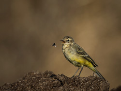 Yellow Wagtail on the muck heap