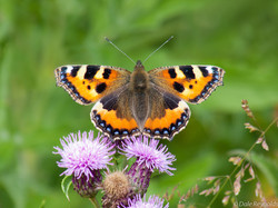 Small Tortoiseshell butterfly feeding on a thistle