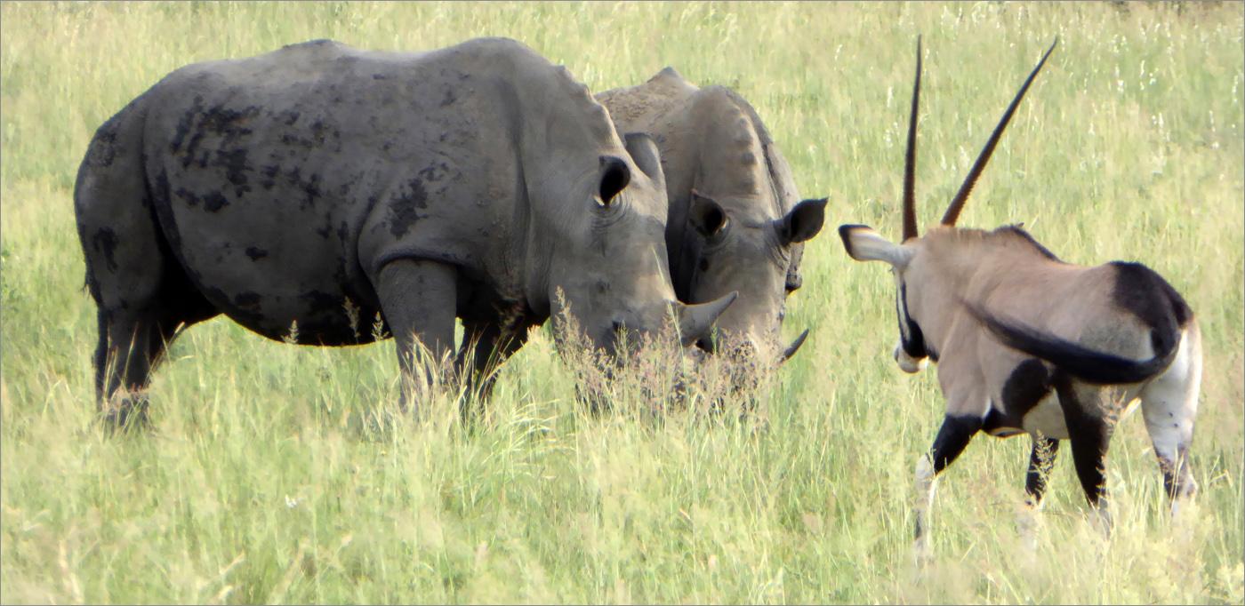Black Rhinoceros and Oryx