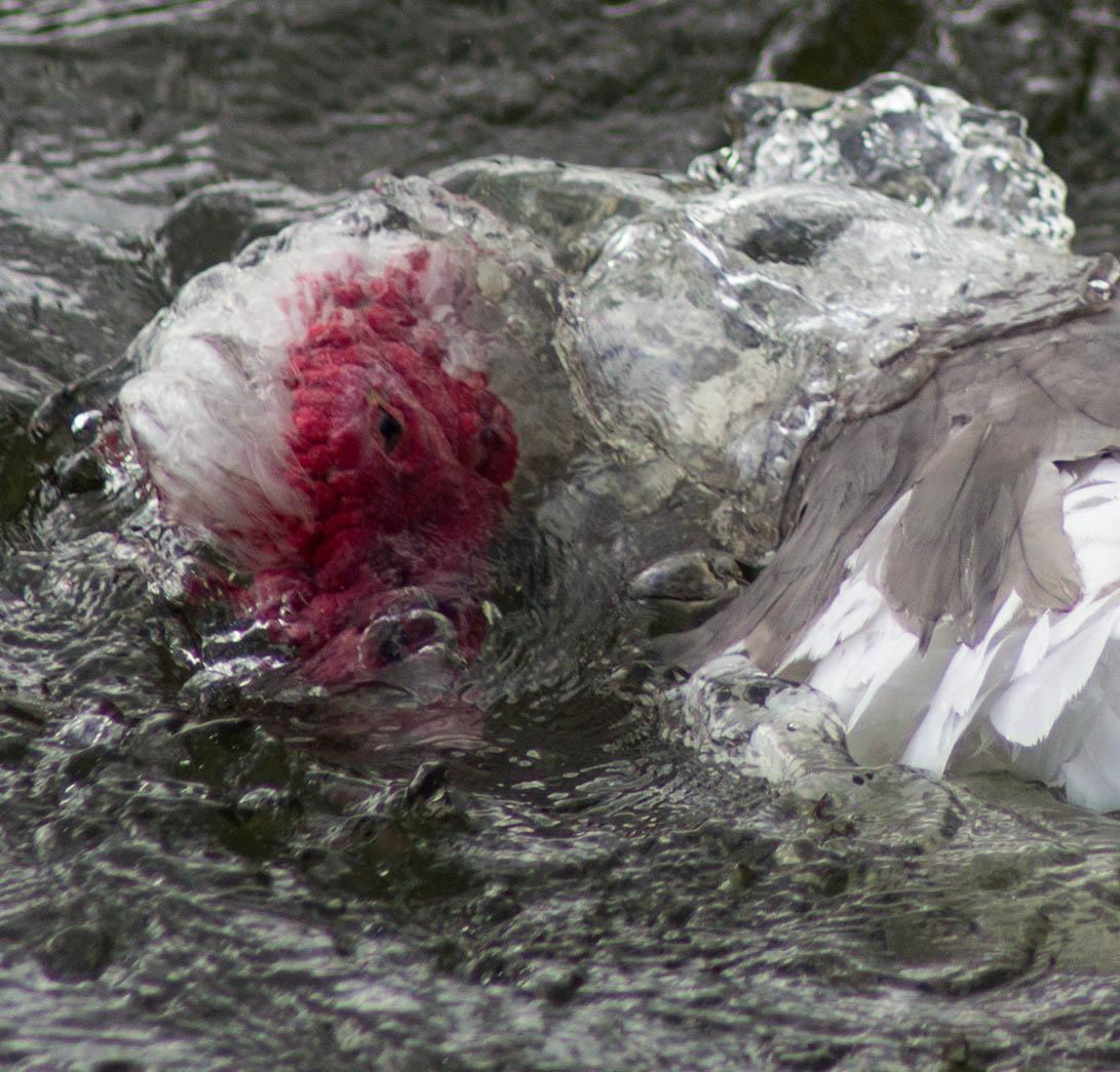 Muscovy Duck (Cairina Moschata) Bathing