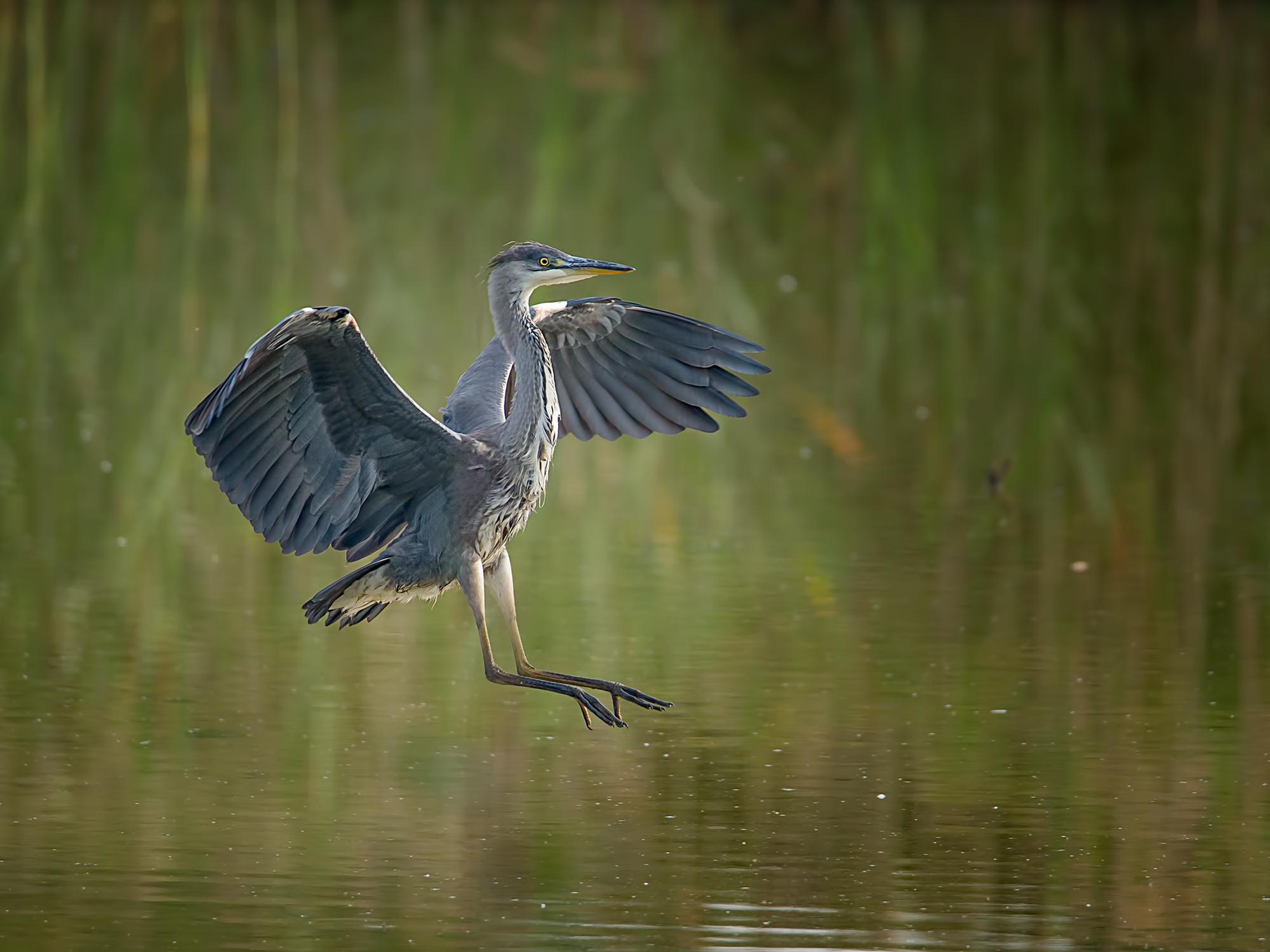 Heron Touchdown