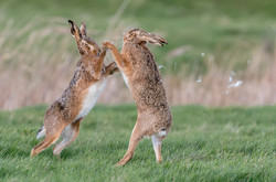 Boxing Hares & Flying Fur