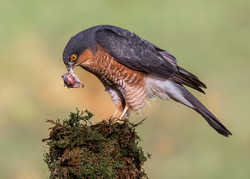 Male Sparrowhawk, Galloway Forest