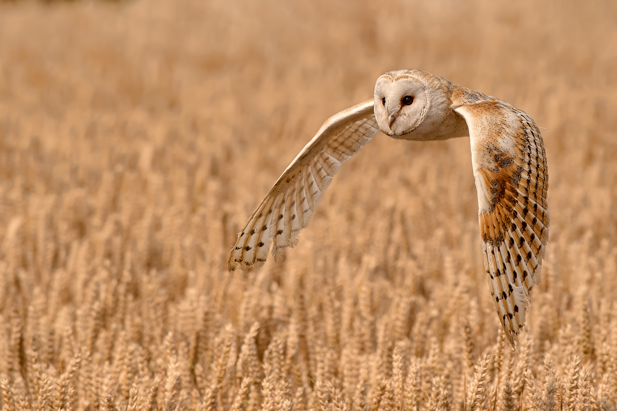 Barn Owl Quartering a Field