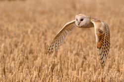 Barn Owl Quartering a Field