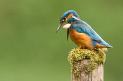 Male Kingfisher Regurgitating a Pellet