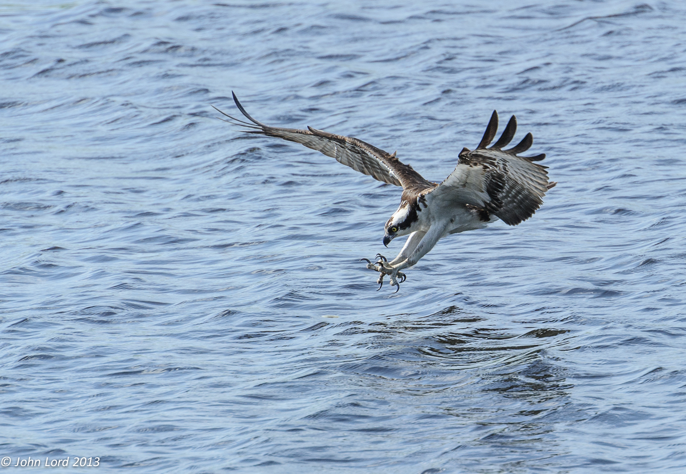 Osprey about to Catch