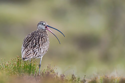 Calling Curlew