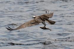 Osprey with Catch 3