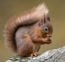 Red Squirrel Eating Lunch