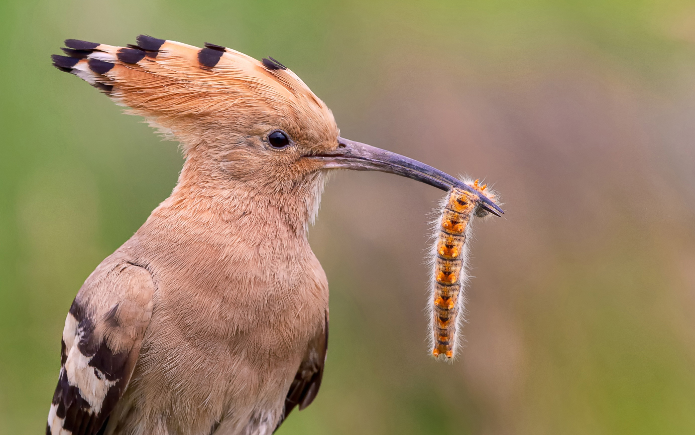 Hoopoe With Caterpillar for Young