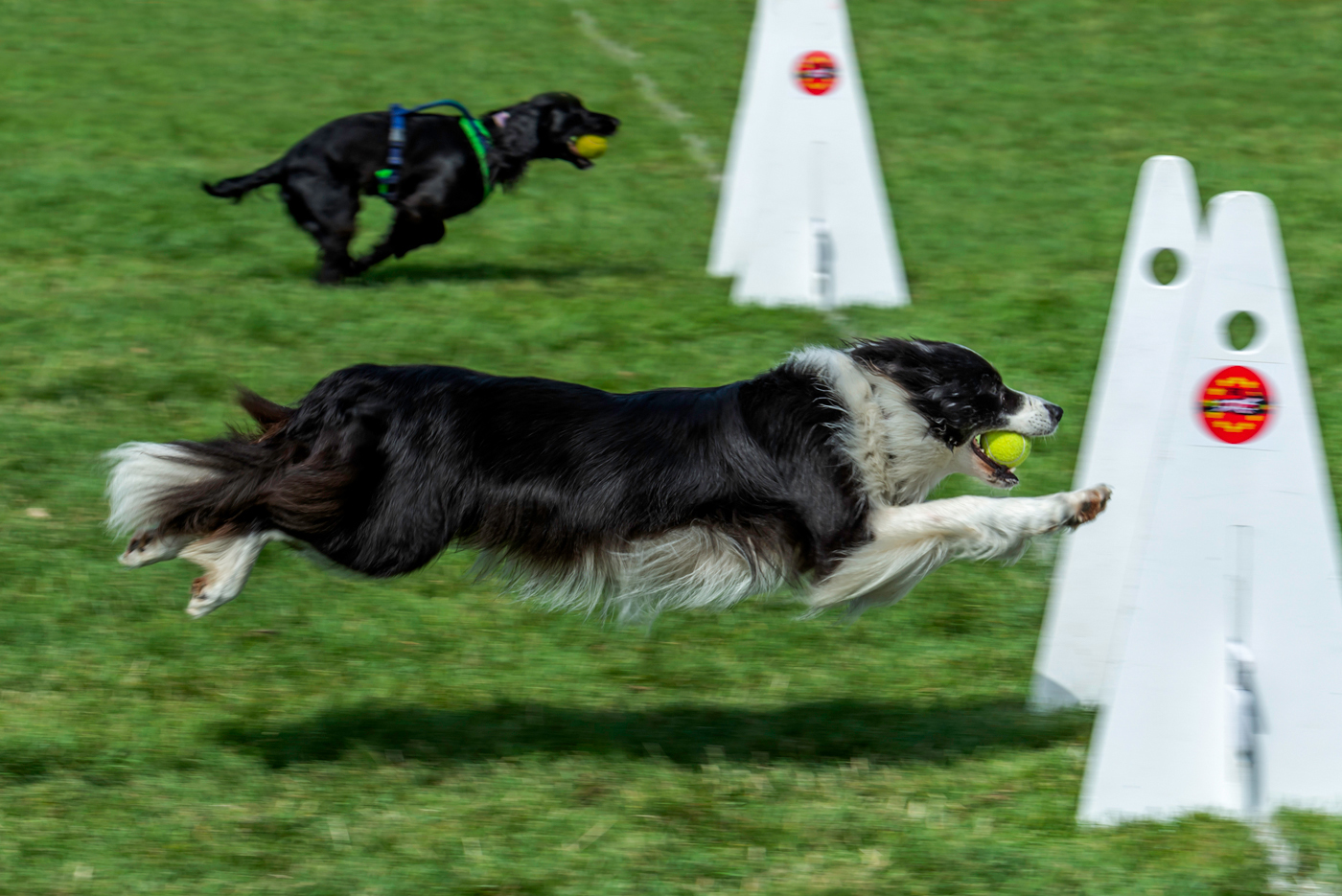Luna, Flyball racing