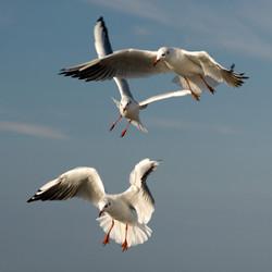 Trio of gulls