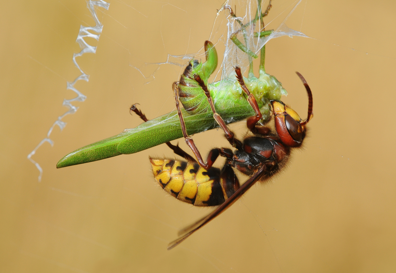 Hornet feeding on a Cricket