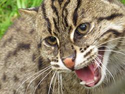 Wild River Cat Attitude