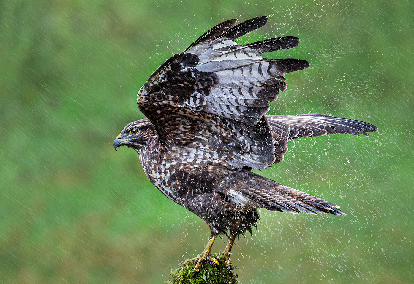 Wild Buzzard in Rain