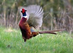 Magnificent Cock