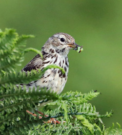 Meadow Pipit with grub
