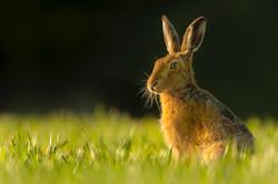 Evening light Hare