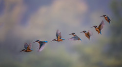 Hovering Kingfisher Compilation