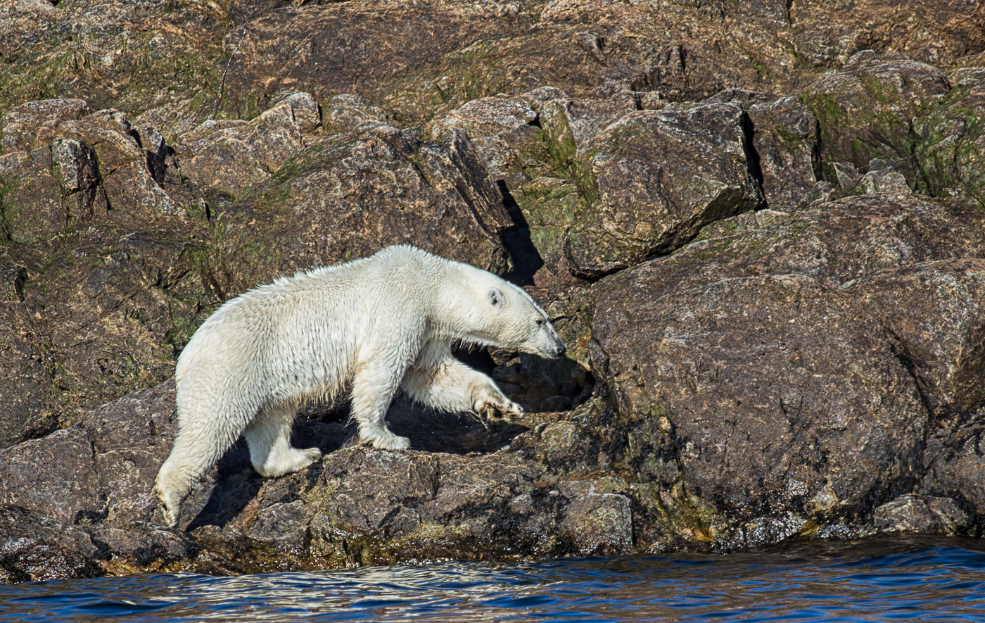 Polar bear at the Lower Savage Islands, Canada