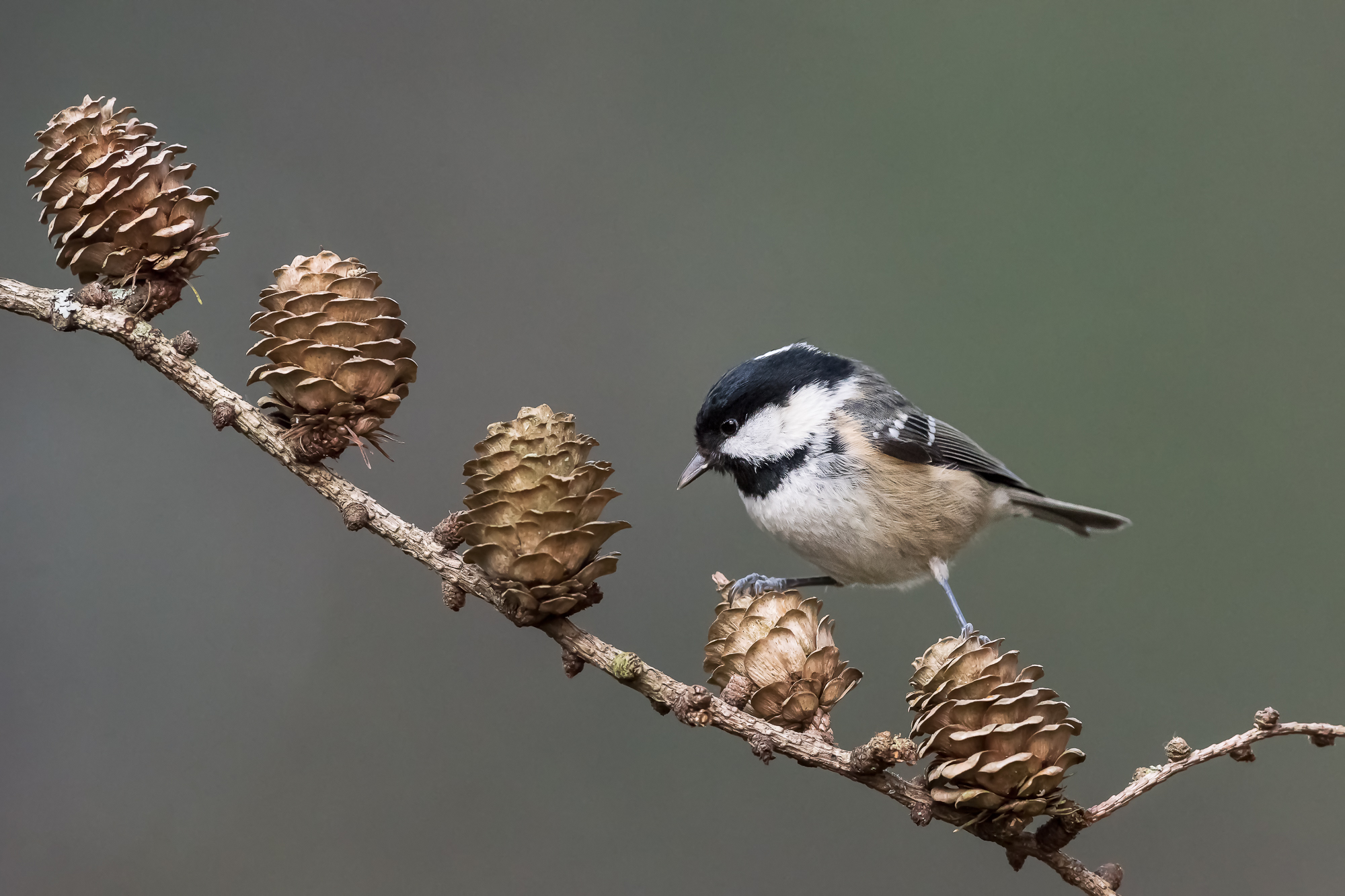 Coal Tit on Larch Cones