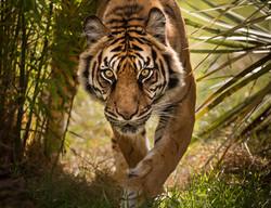 Female Sumatran Tiger