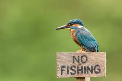 Illiterate Male Kingfisher