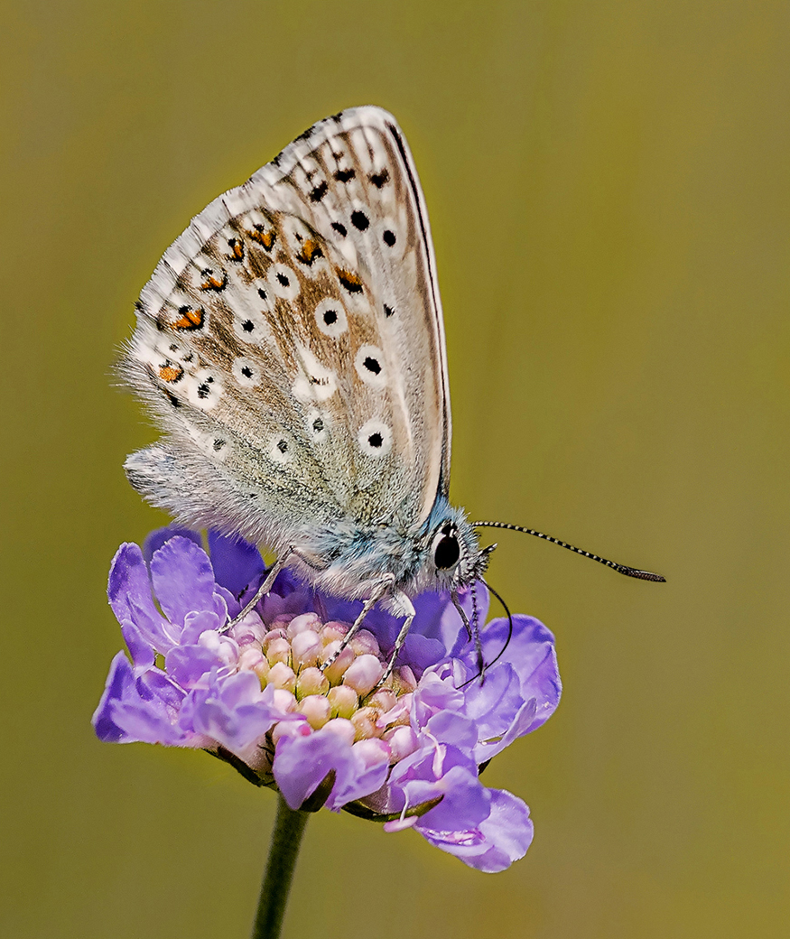 Chalkhill Blue on Scabious
