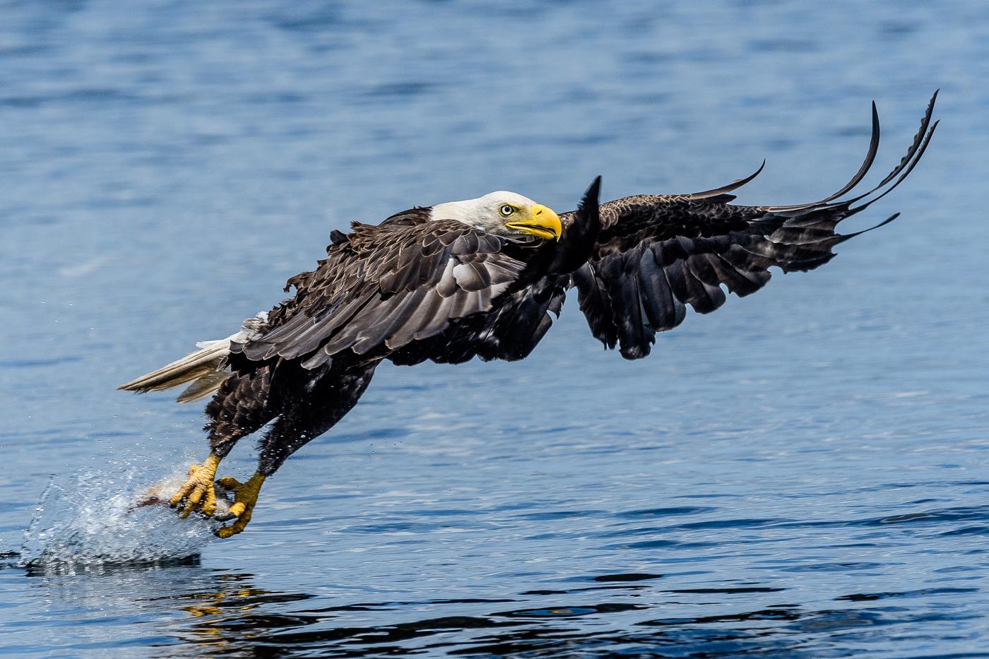 Bald Eagle Fishing on Lake Toho
