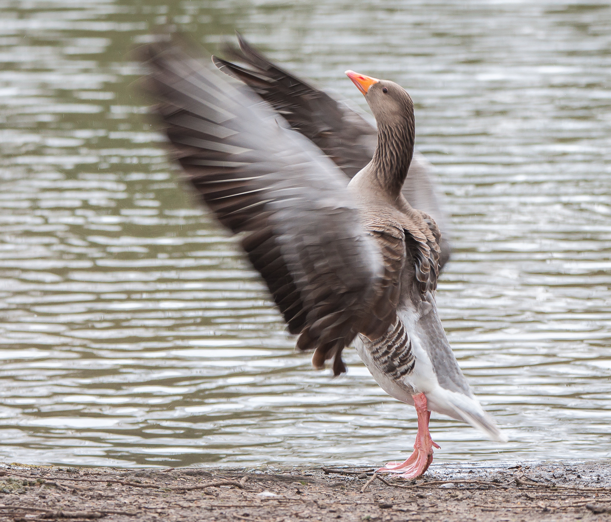 Greylag goose (Anser anser) stretching its wings